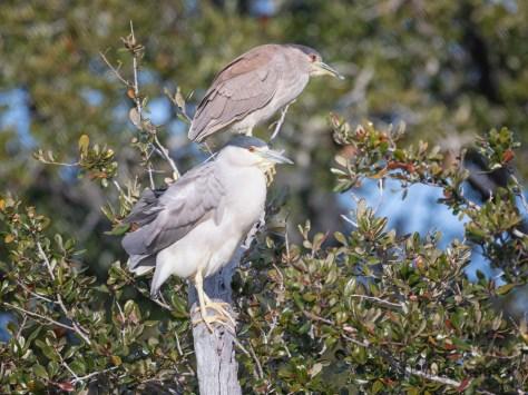 Juvenile / Adult Night Herons