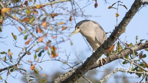 Night Heron Roost