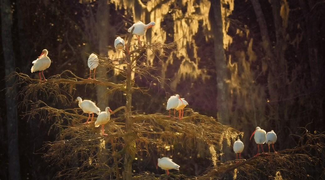 White Ibis At Dusk