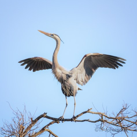 Checking Out A Rookery, Heron