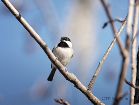 Watching A Chickadee