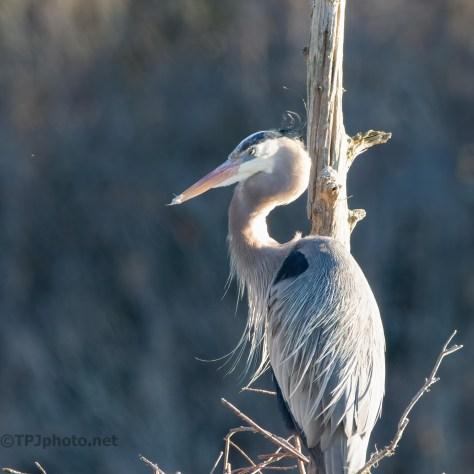 Great Blue Heron Posing