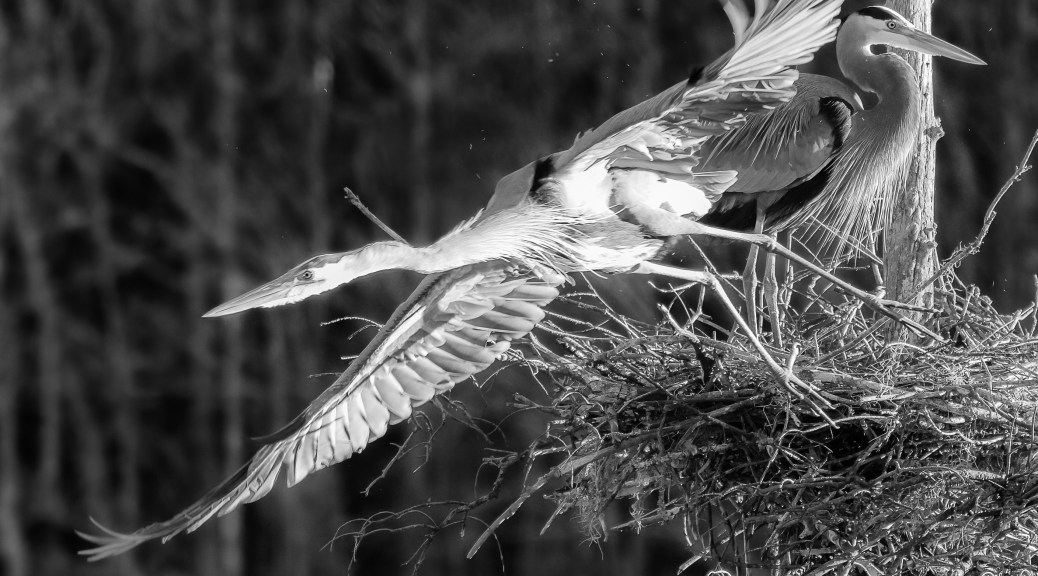Herons, Black And White