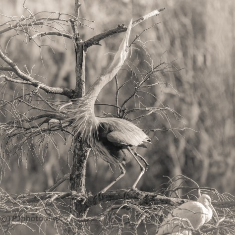 Great Blue Calling - Sepia