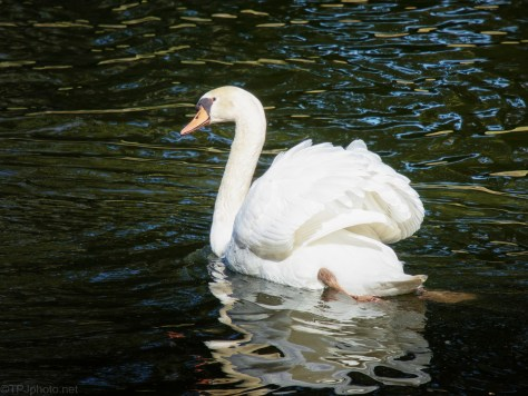 Plantation Swans