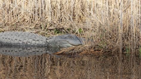February Slow, Alligator