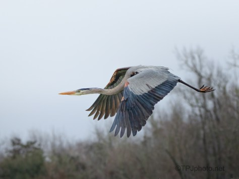 Heron Over A Rookery