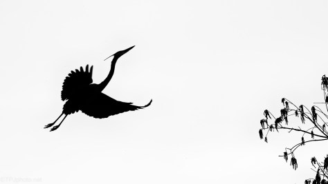 Silhouette, Great Blue Heron
