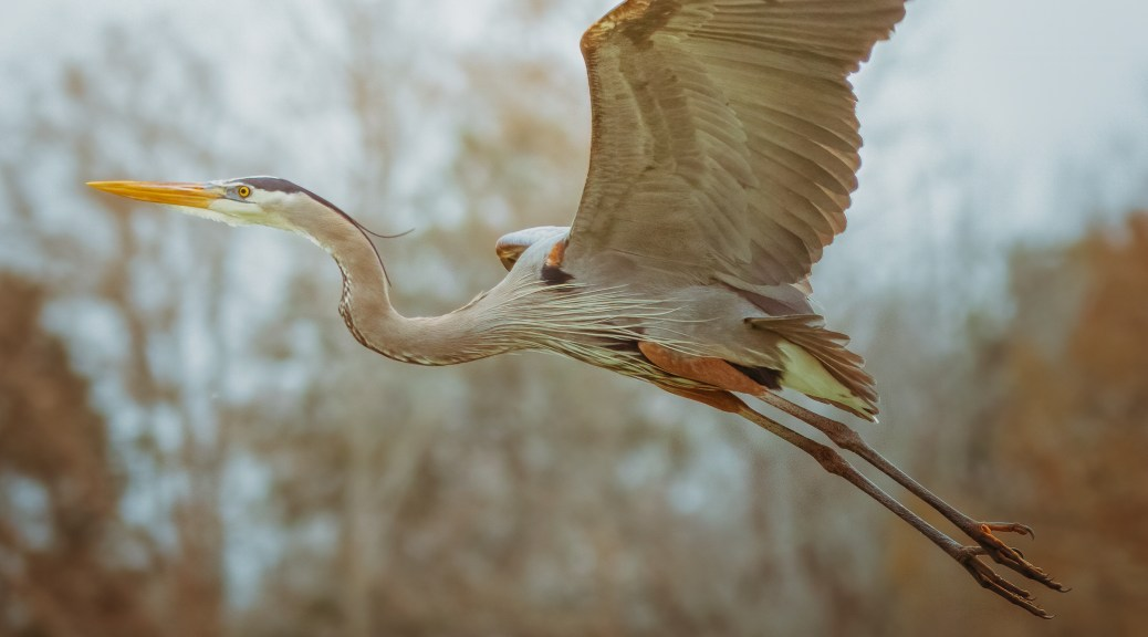 Climbing To The Nest, Great Blue