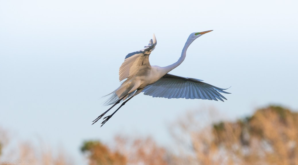 Passing Through, Great Egret