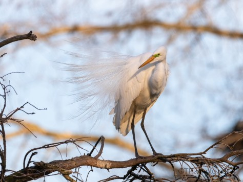 Great Egret, Bridal Feathers