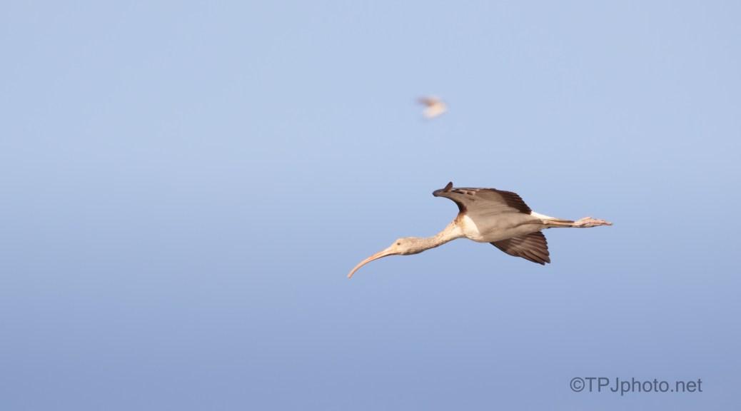 Juvenile Ibis In A Marsh