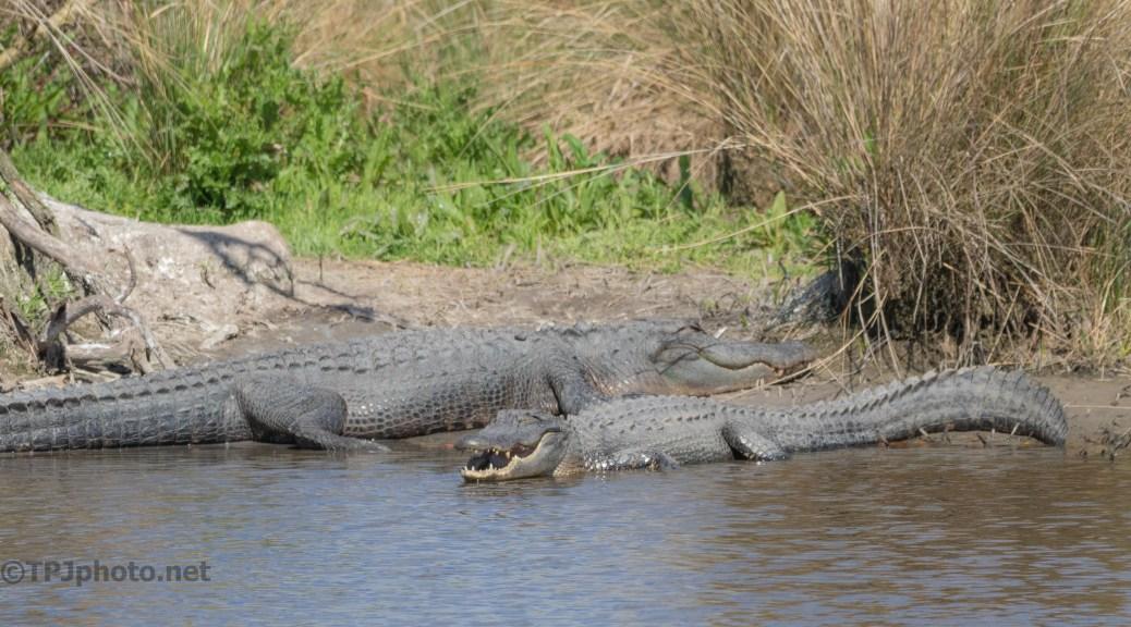 Reminding Me 'This Spots Taken' Alligator