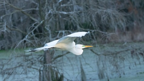 Great Egret, Swamp