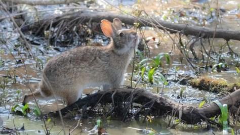 But Does It Taste Good, Marsh Rabbit