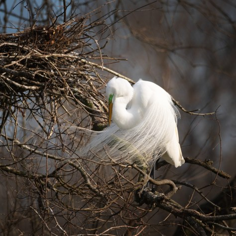 Egret In The Wind