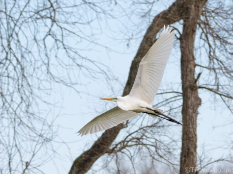 Passing Through, Great Egret