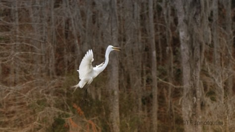 Egret, Evening Shots