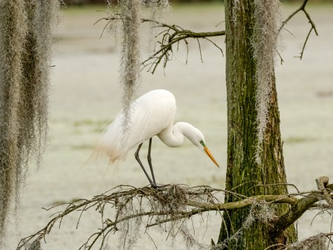 Under The Cypress, Great Egret