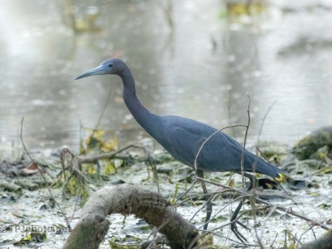 Little Blue At The Ibis Swamp