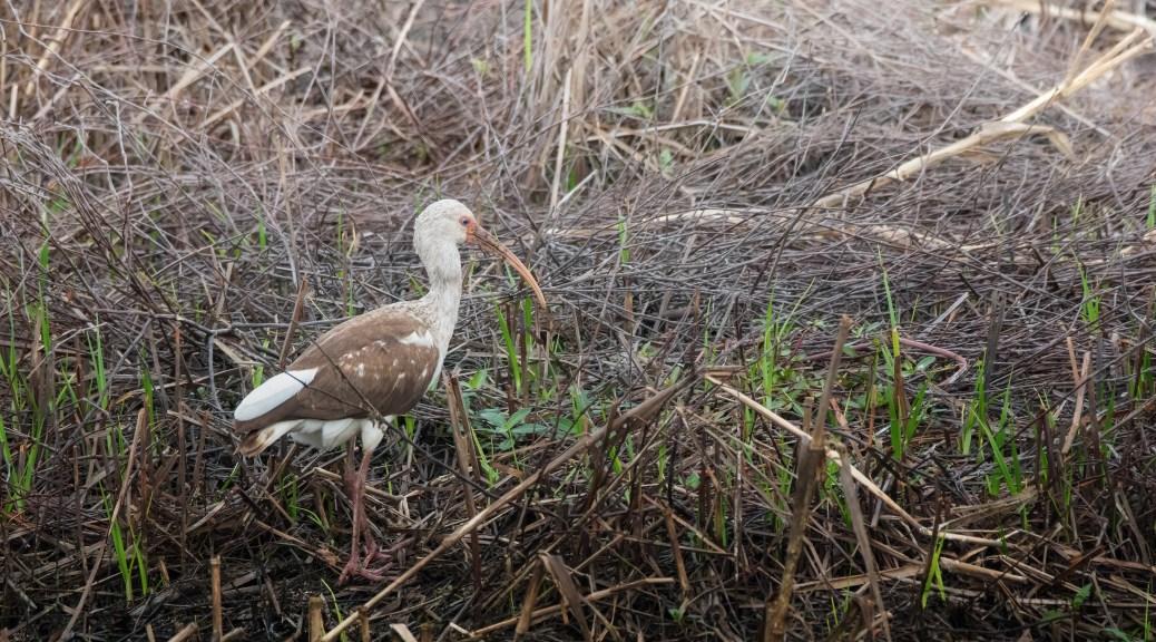 Juvenile Ibis In The Reeds