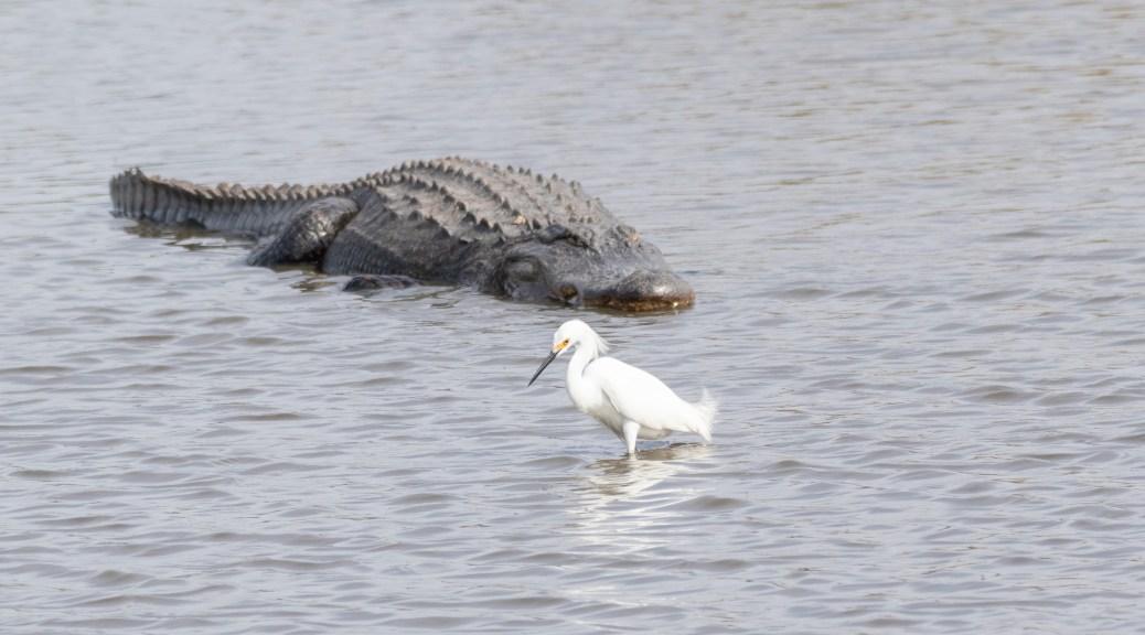 You Can't Make This Up, Egret - Alligators
