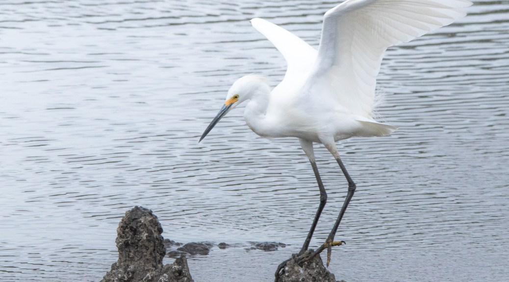 Snowy Egret On A Knee