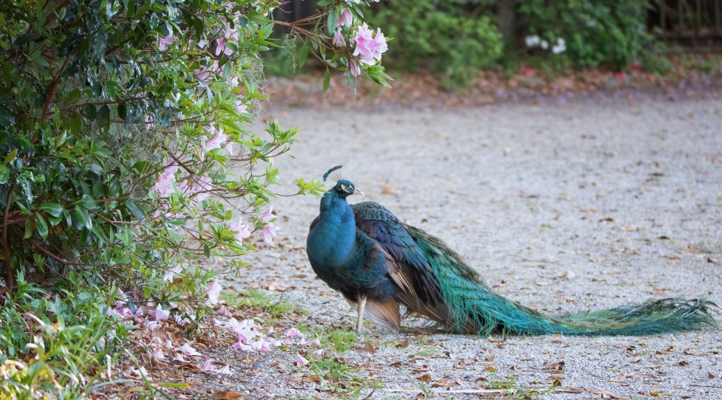 An Old Friend, Peacock