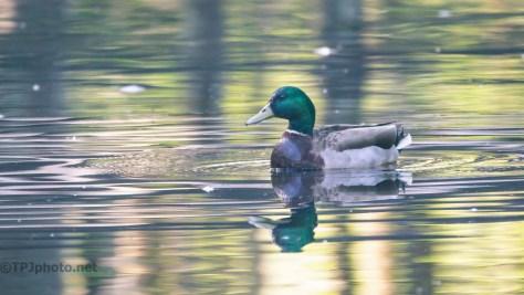 Reflections, Ducks