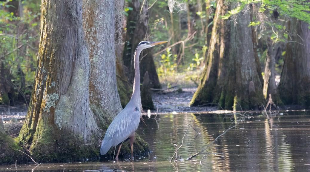 Great Blue - Swamp