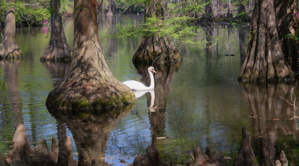 Cypress Trees And A Swan