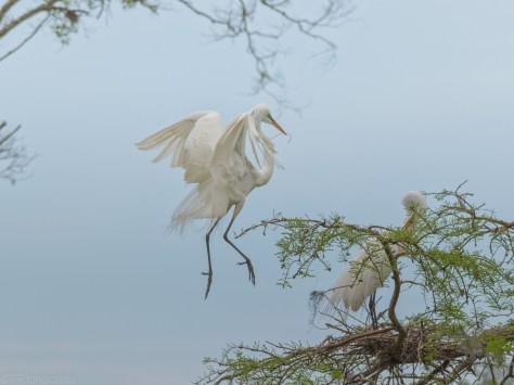 Egret Landing In A Cypress