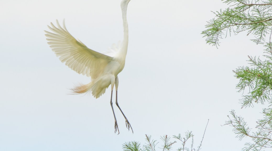 An Image With A Minimum Of Distractions, Great Egret
