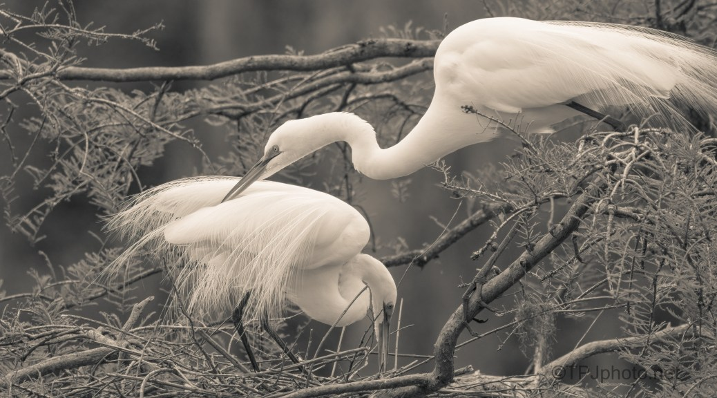 Great Egret Portrait, Sepia