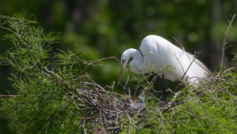 Small, Very Small, Little Head Watching Mom Egret