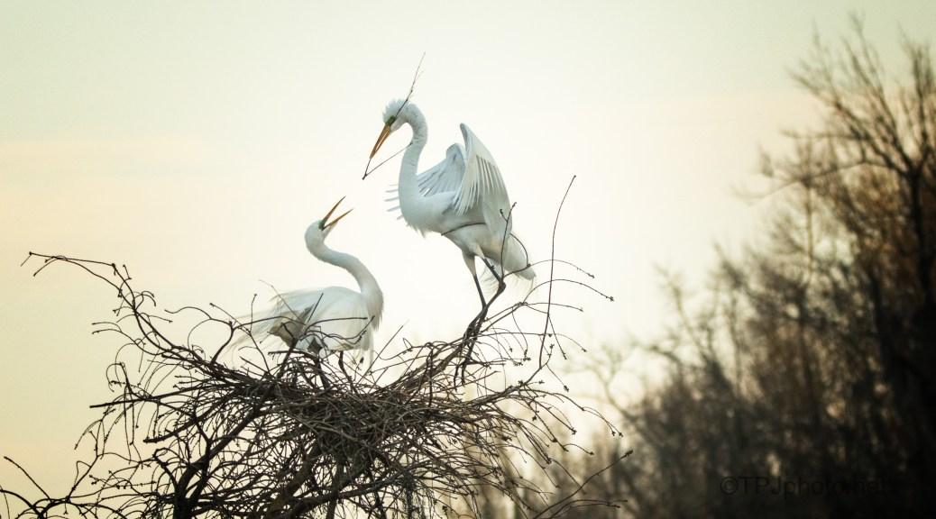 Evening Scene, Egrets
