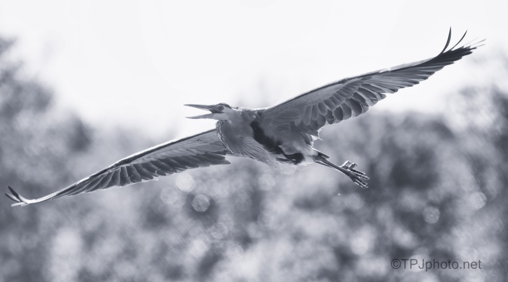Monochrome Fly By, Heron