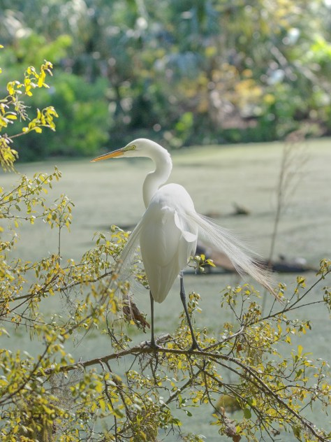 On The Trail, Egret