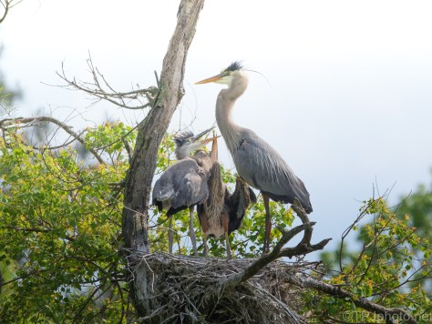 Trying To Ignore The Kids, Heron