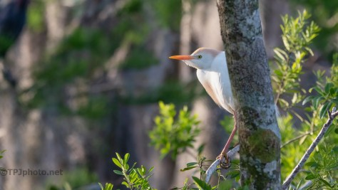 Hiding On The Waters Edge, Cattle Egrets