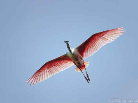 Pink And Blue Sky, Spoonbill