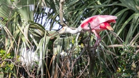 Spoonbill Chasing A Snowy Egret