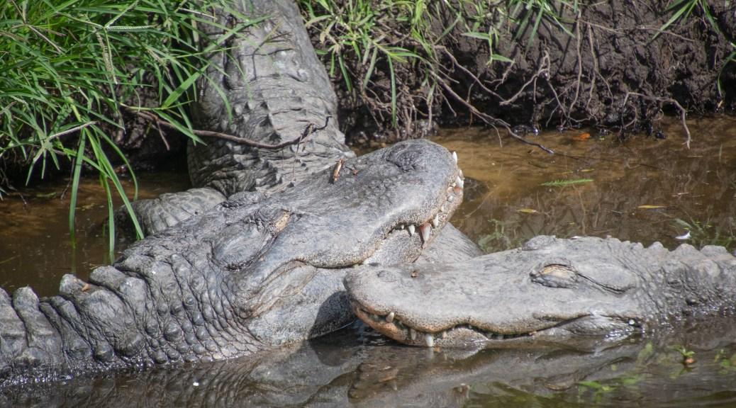 Cozy Alligators