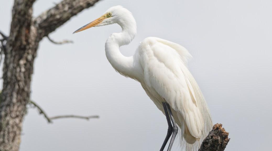 Egret, A Quiet Moment