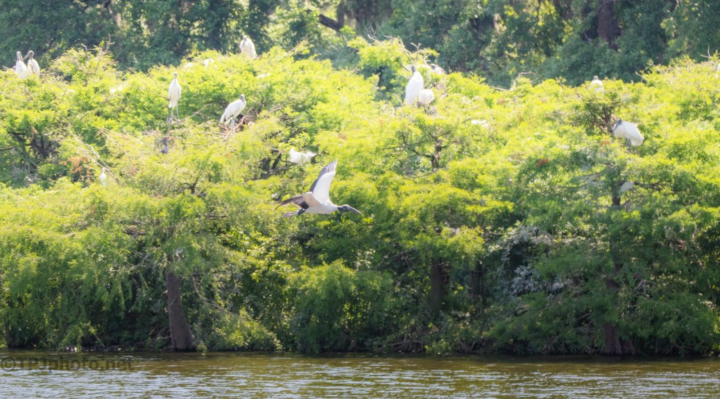 Wood Stork Rookery
