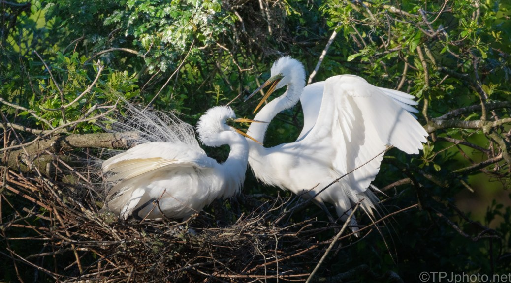 Late Nesters, Great Egret