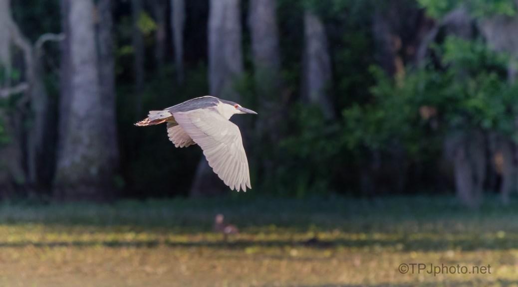 Really Fast, Black-crowned Night Heron