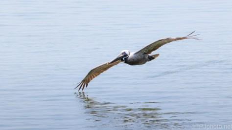 Gave Me The Shot, Brown Pelican