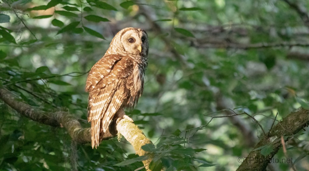Barred Owl First Light