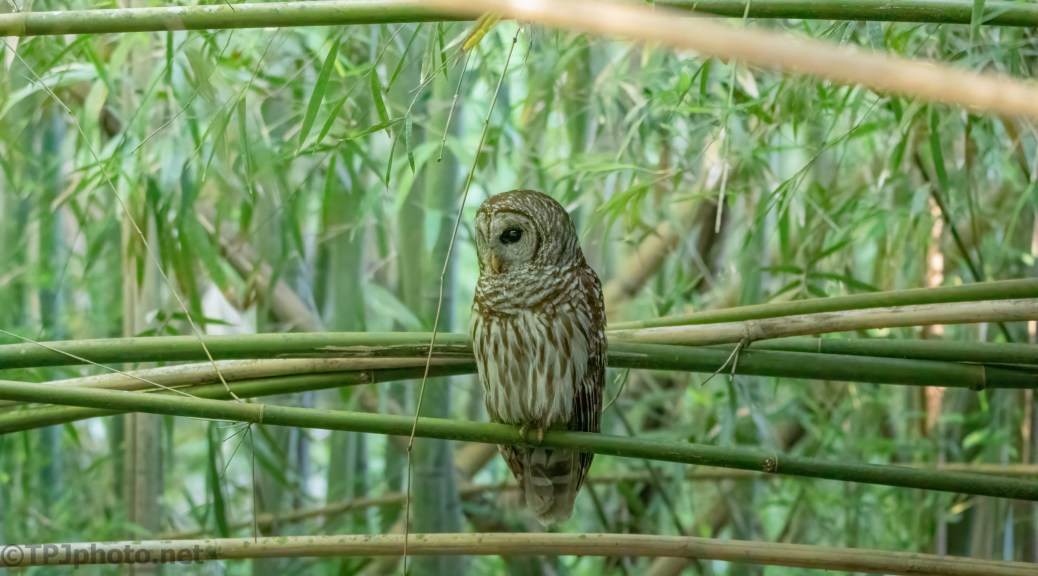 Owls In The Bamboo